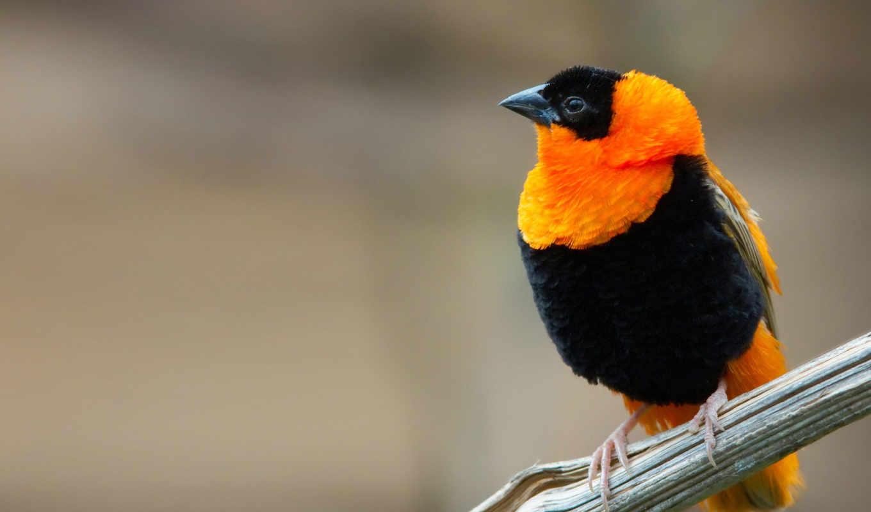 weaver, птица, клипарт, огонь, color, птицы, попугаи, бархат, яркие, радуга, ploceus,