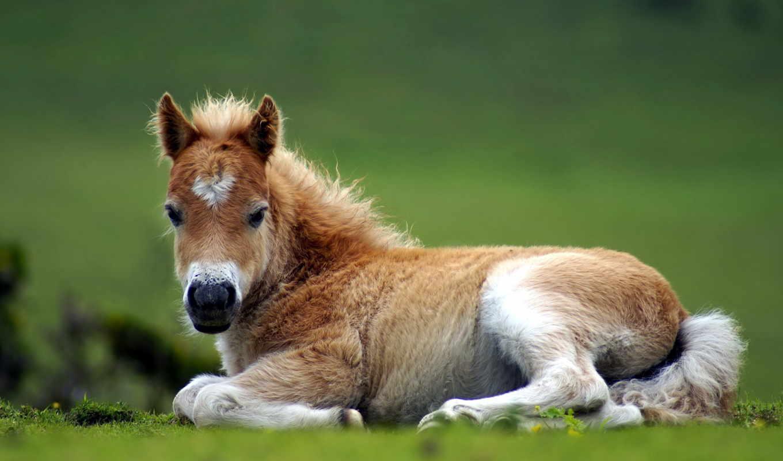 лошади, жеребенок, tolo, яndex, tatiana, curly, башкирский, природа, лошадь,
