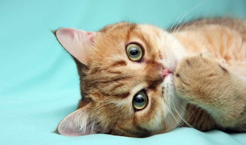 animal, кот, красивый, котенок, взгляд, глаз, red, feline, шерсть