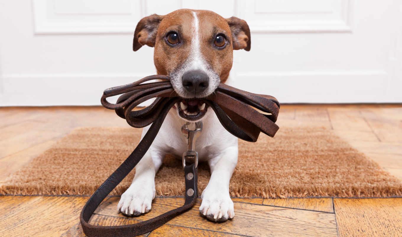 собака, вести, holding,