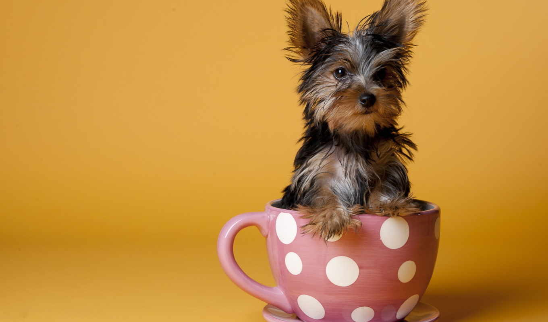 animals, dogs, собака, золотистый, animal, retriever, животные, cup, собаки,