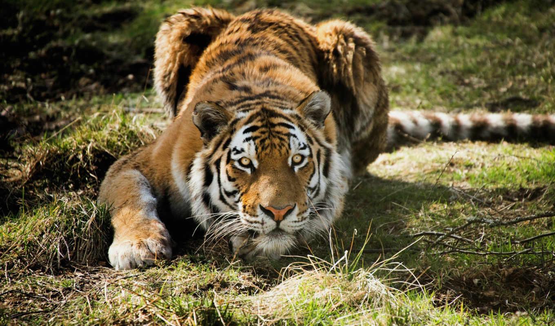 тигр, тигры, большой, яndex, baby, готовится, коллекциях, прыжку,