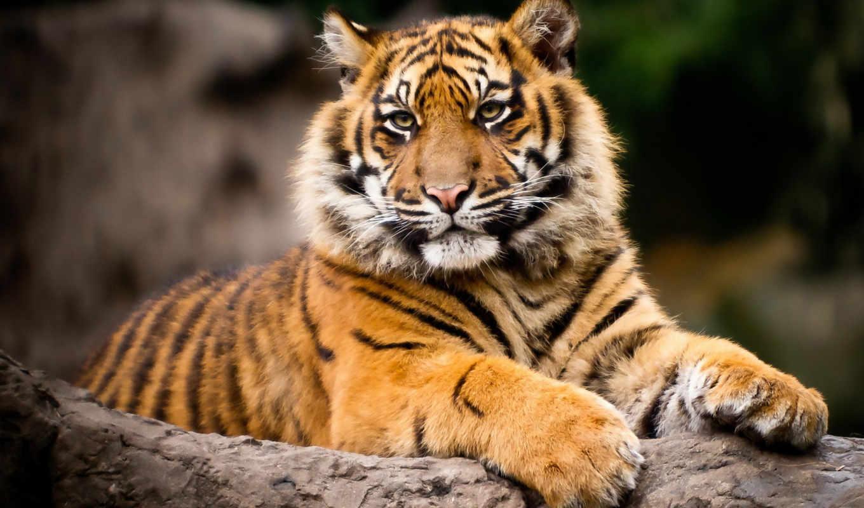 красивых, тигры, наборе, jon, jora, пароль,