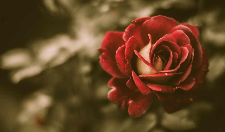 красная, роза, бутон,