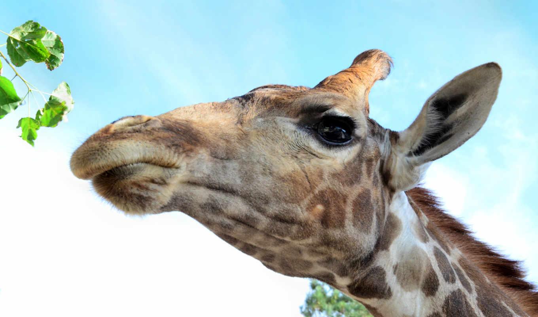 голова, жираф, глаз, картинкам, драйв, добавляем, description, разрешений, высоком,