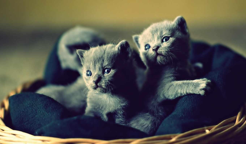котята, кошки, вислоухие, коты, full,