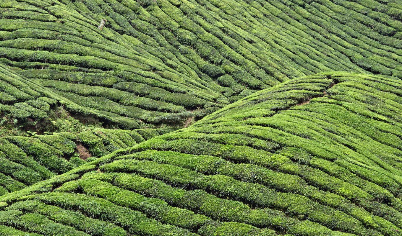 china, tea, huangshan, wallpaper, mountains, fields,