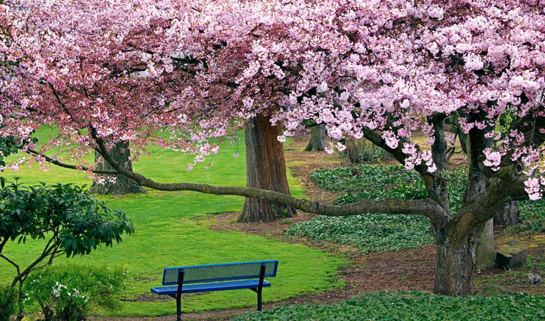 природа, вишня, деревья, Сакура, цветущая, парк,