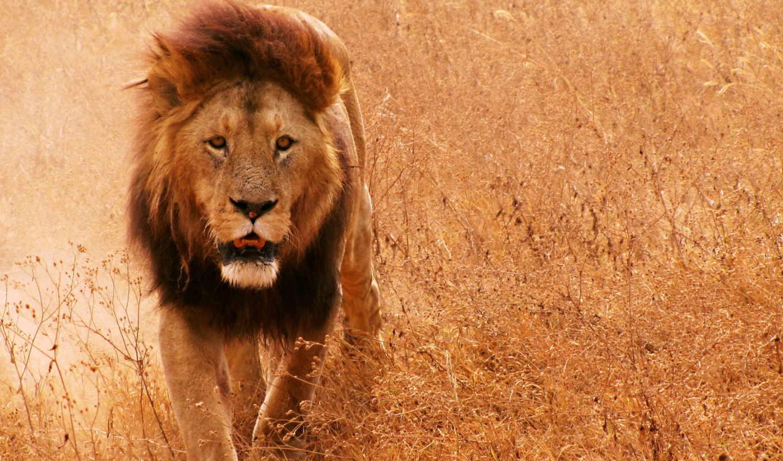 lion, грива, кот, саванна, трава,