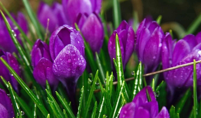 обои, крокусы, цветы, фото, роса, капли, макро, св