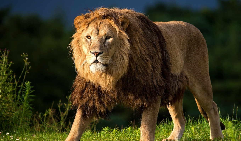 lion, грива, хищник, трава, взгляд, охоте, марта, природа,