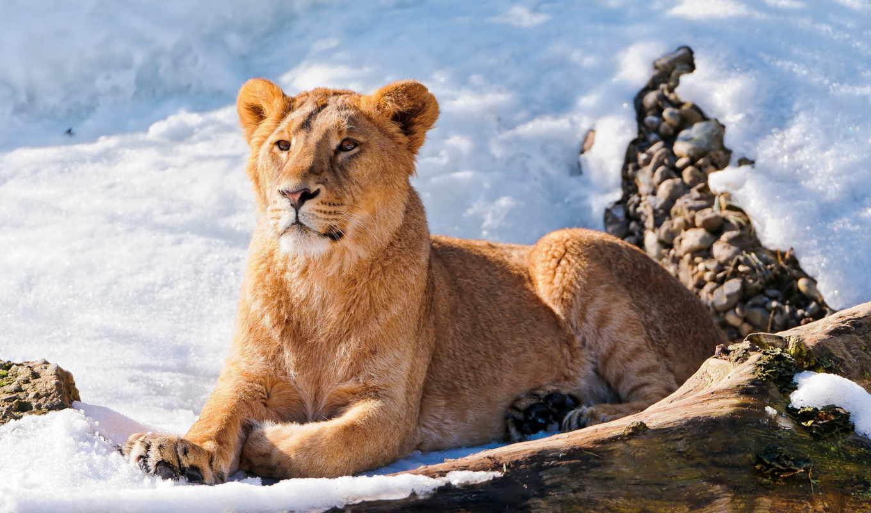 lion, снегу, львица, лежит, молодой, взгляд, морда, смотрит,