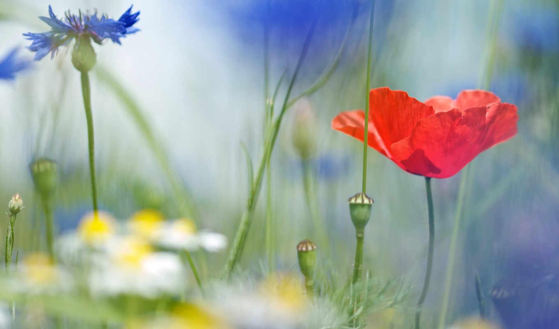 полевые, cvety, ромашки, васильки,