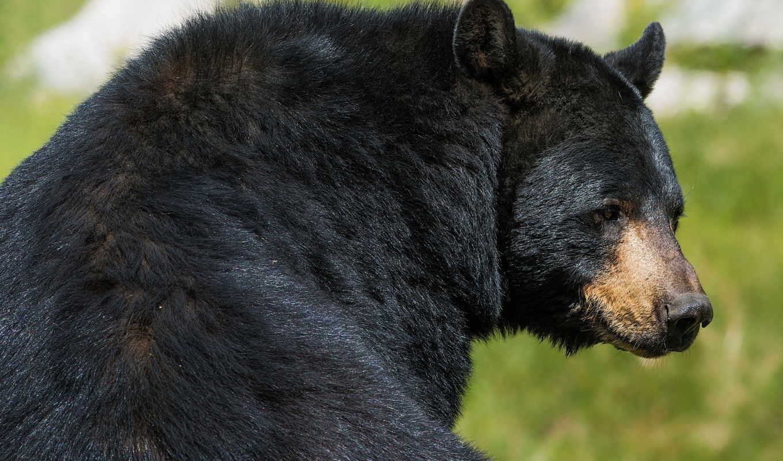 медведь, зверь, хищник, барибал, black,