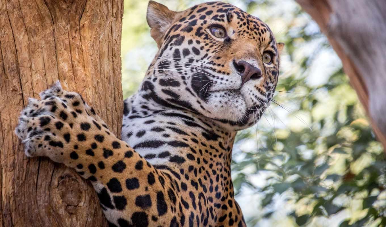 jaguar, хищник, дерево, морда, животных, любят, кот, гепард,