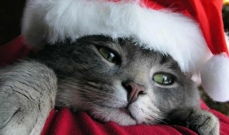 weihnachten, katzen, christmas, кот, серые, котики, chf, forum, саймон,