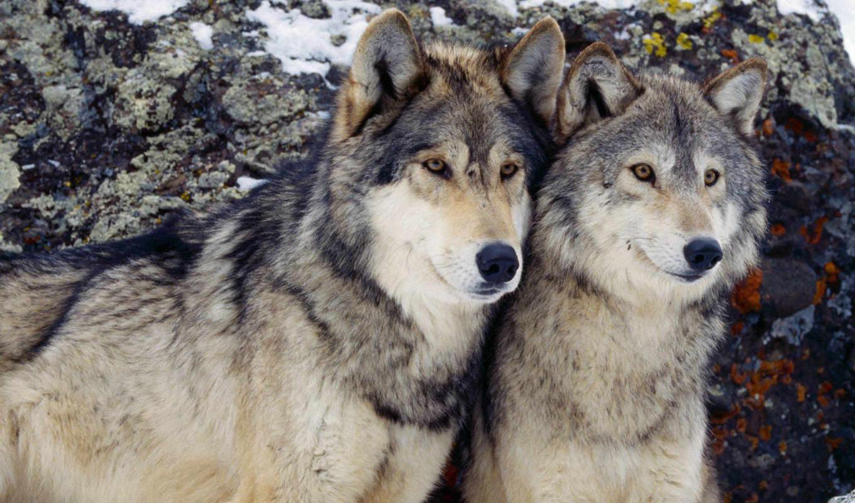 волка, волк, братья, волки, tri, dva,