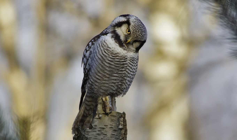 сова, птица, взгляд, марта, янв, dvson,