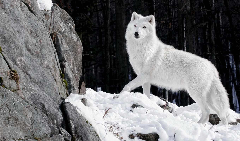 волк, white, хищник, снег, волчица, winter, снегу, photoshop, лес,