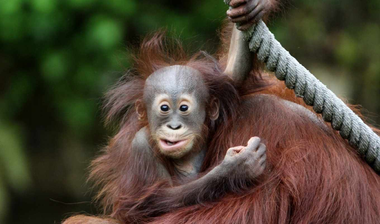 животные, обезьяны, фотографии, животных, животными,