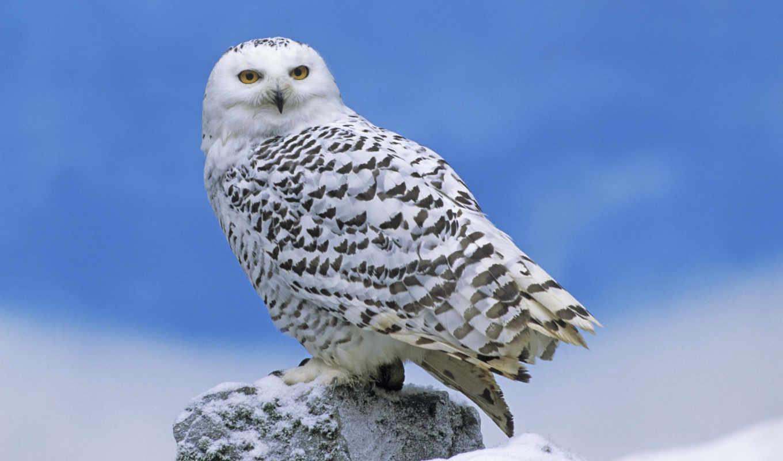 сова, полярная, птицы,
