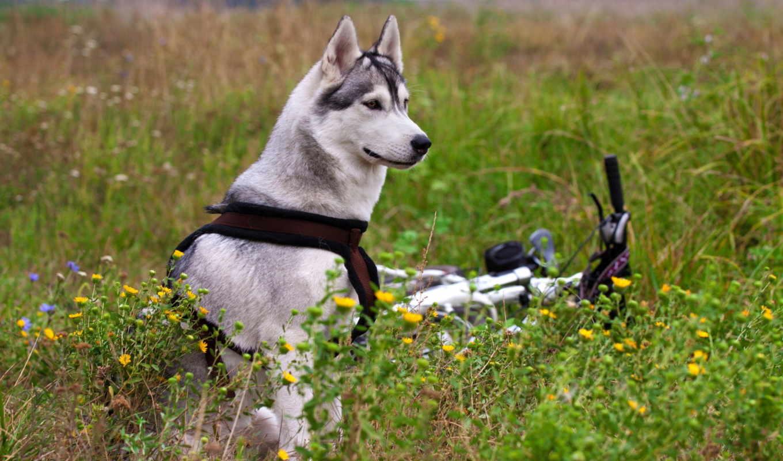 велосипед, цветы, маламут, поле, собака,