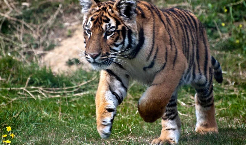 тигр, коллекция,