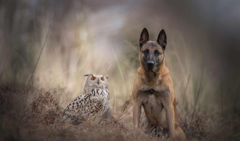 собака, природа, zhivotnye, овчарка, german,