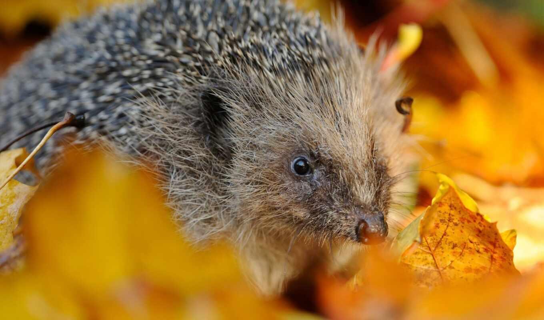 осень, макро, листва, ежик, животные, жачок, animal, tenebra,