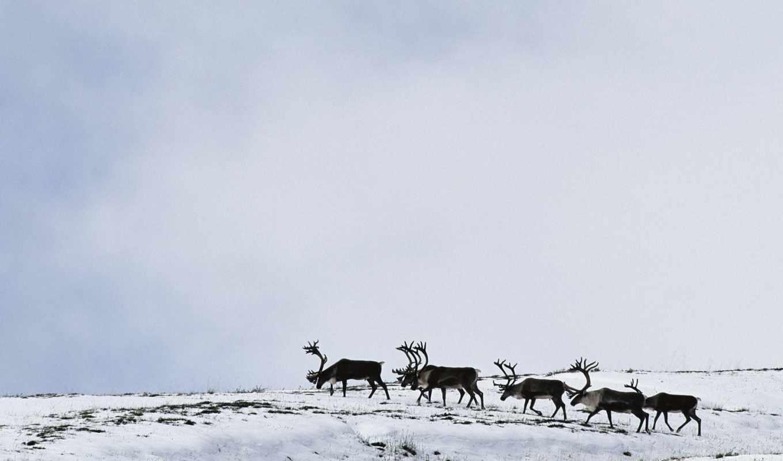 оленей, zhivotnye, стадо, северных, северные, красивые, олени,