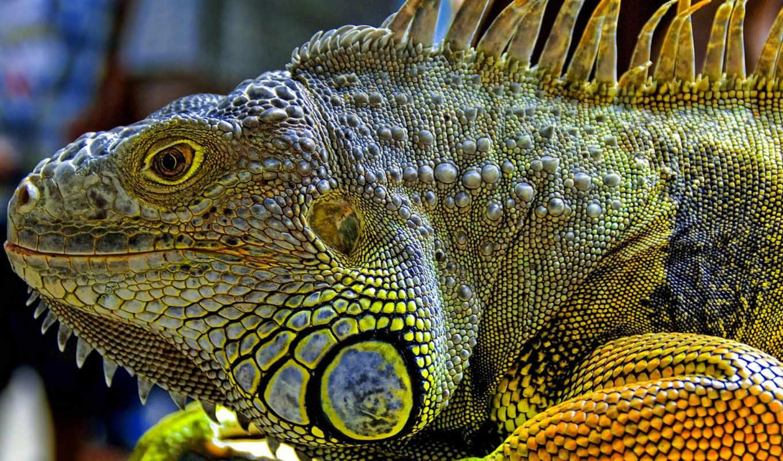 красивые, новогодние, one, iguana, ящер, zhivotnye, everything, chameleon,