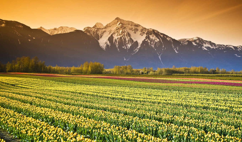 тюльпаны, поле, красивые, followers, subscribe, cvety, природы, картинка, тюльпанов,