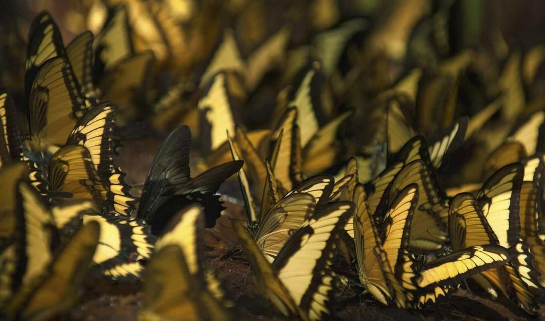 бабочка, many, насекомое