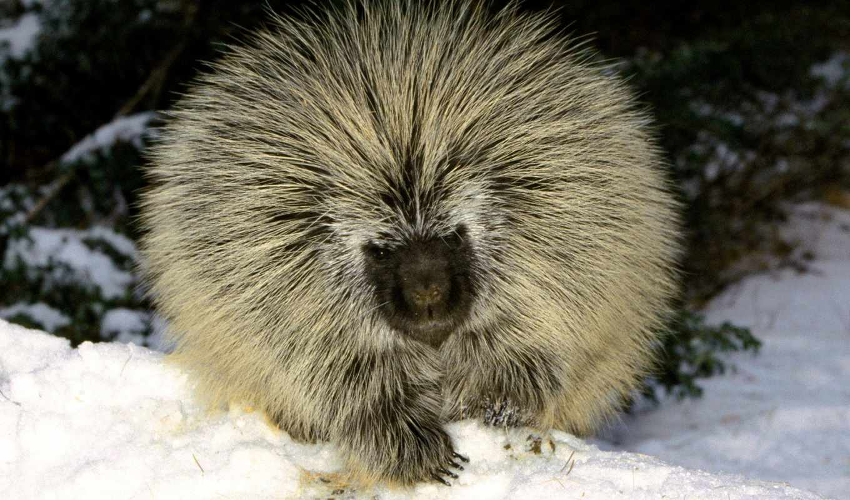 zhivotnye, porcupine, американский, north,