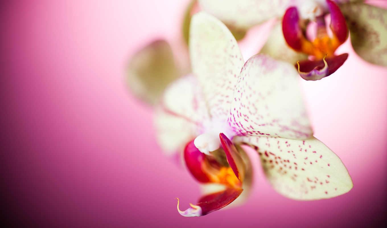 цветы, макро, лепестки, орхидея, рисунок, картинка, фото,