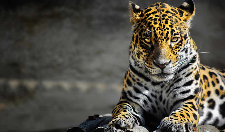 леопард, хищник, кот, леопарды, дикая, коллекция, rong,