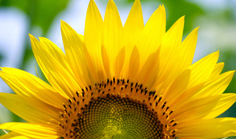 подсолнух, her, цветы, подсолнуха, июнь,