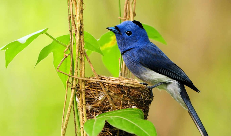 гнезде, птичка, маленькая, синенькая, синяя, птицы,