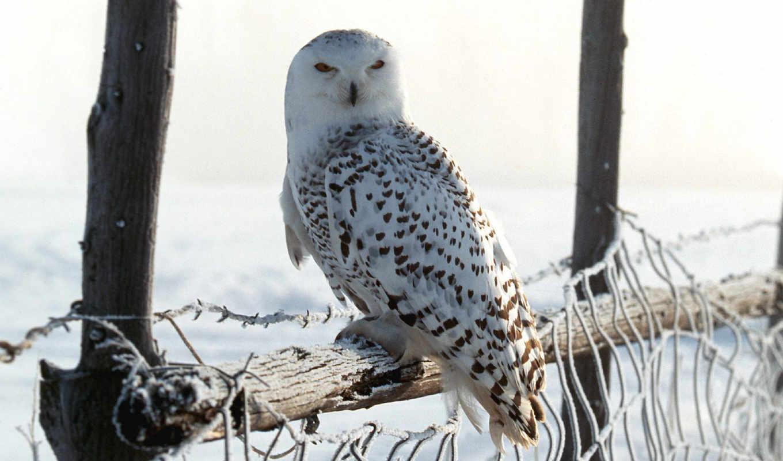 owl, winter, филины, white, совы, картинку, животными, животные,