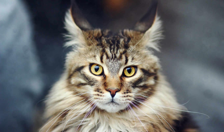 веселые, мейн, фона, кун, животными, животные, кот, количество, rating, картинок, изображение,