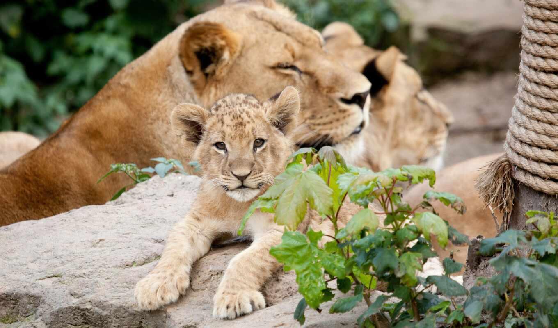 животные, lion, детёныш, хищник, львица, львы,