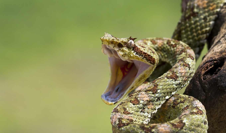 snake, ухмылка, взгляд, агрессия, шипит,