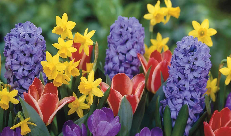 крокусы, тюльпаны, гиацинты, нарциссы,