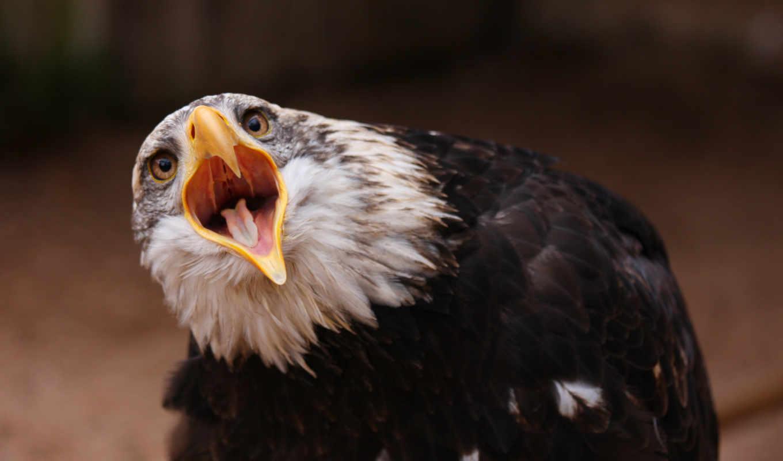 орлан, птица, клюв, июня, птицы,