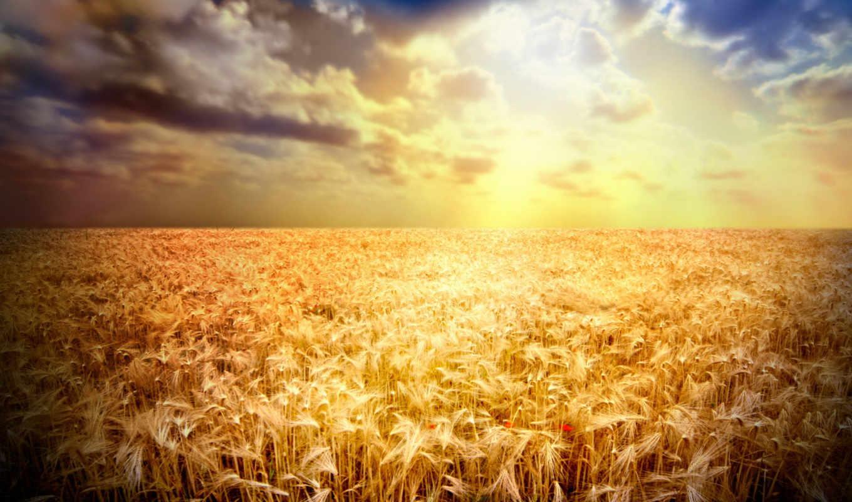 пшеница, pole, zakat, колосья, мак,