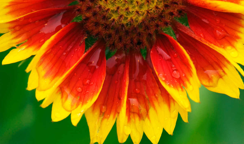 цветы, подсолнух, flowers, макро,
