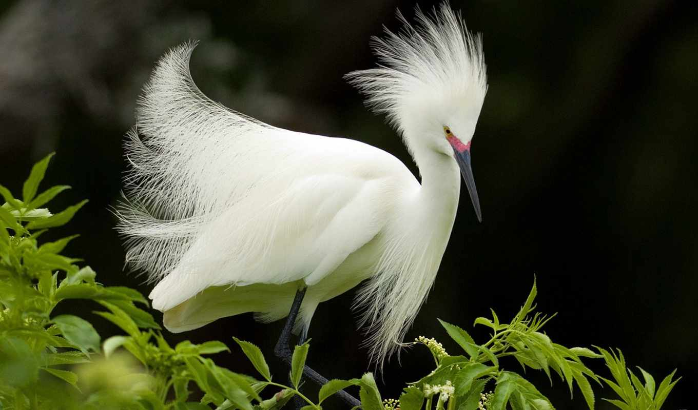 egret, snowy, разведение, перья, animals,