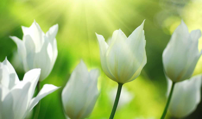 тюльпаны, весна, природа, цветы, свет, поле, широкоформатные,