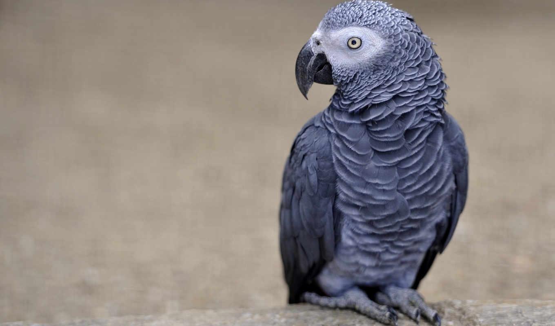 жако, попугай, веселые, животными, фона, животные, картинку,