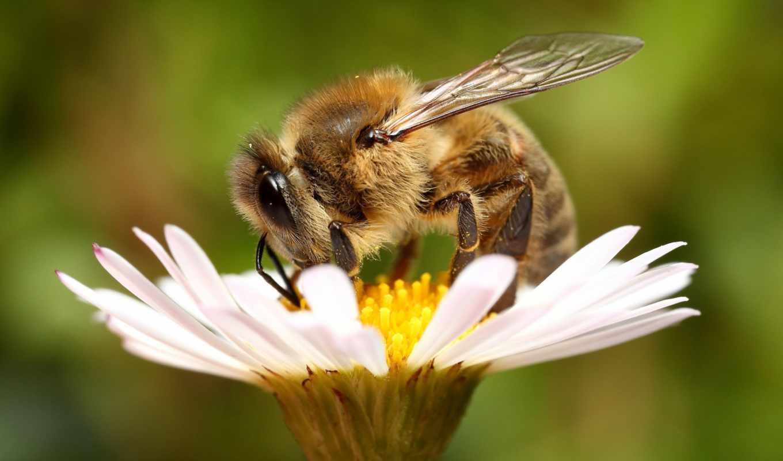 цветок, пчела,